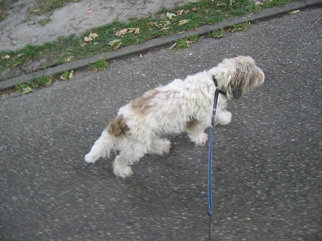 Capuce walking