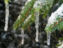 Icicles Spruce Winter Ice (hn.) Tags: schnee trees winter copyright plants snow plant tree ice nature germany season bayern deutschland bavaria heiconeumeyer nieve gaissach gaissacherfilzen gaisach gaisacherfilzen isarwinkel jahreszeit jahreszeiten natur oberbayern seasonal tlzerland upperbavaria pflanze pflanzen icicle fir eis bume spruce icicles baum baeume fichte fichten firs spruces conifer eiszapfen copyrighted nadelbaum