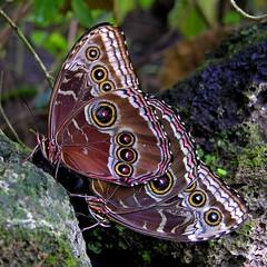 (Abra K.) Tags: butterfly wings saudade ~~ papillon borboleta remembrance 4u farfalla schmetterling vlinder littlefriend romandie papillorama littefriend