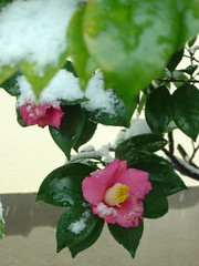 Camellia with snow (by martian cat)