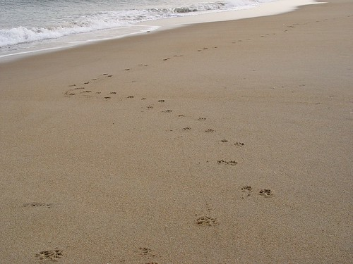 Curvy line of paw prints