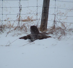 Where did it go? (Aegolius) Tags: greatgreyowl stixnebulosa owl ottawa