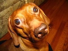 Pet Dachshund, Slinkie (SeeMidTN.com (aka Brent)) Tags: dog pet animal topv111 nose topv333 dachshund dognose doxie firstthought slinkie brentandmarilynnpersonalfavorite bmok bmok9used