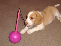 Huh? (theFrog) Tags: dog beagle puppy lemonandwhite