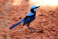 Splendid Wren (Dean Ayres) Tags: blue red bird australia northernterritory alicesprings splendidwren matingplumage 123faves