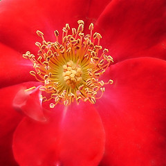 Red-Rose, as red as it gets (Gertrud K.) Tags: flowers red macro taggedout wonder rosa rosaceae ccmpclosencounter