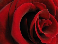 Happy Valentine's Day!! (Supriya O) Tags: red flower macro love nature beautiful rose wow wonderful ilovenature petals interestingness superb gutentag gorgeous awesome redrose valentine stunning valentinesday excellence interestingness8 supriyao explore14feb2006 bronly abigfave