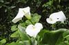 Lilly  -DSC_0080 (John Hickey - fotosbyjohnh) Tags: ireland dublin macro june whiteflower nikon cabinteely nikond5100 june2015