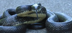 Black snake (hennessy.barb) Tags: blacksnake snake coiled reptile hiss serpent barbhennessy