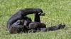 Gorilla gorilla gorilla (JGOM) Tags: netherlands zoo arnhem nederland burgers burgerszoo dierentuin dierenpark westernlowlandgorilla gorillagorillagorilla burgersdierenpark