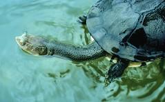Long Necked Turtle (Chelodina longicollis), Myall Lakes National Park, NSW, 5th December, 1971. (garratt3) Tags: aus film myalllakesnationalpark northcoast pentax rural takumar reptile lake turtle bushwalking wilderness australia kodachrome nsw newsouthwales