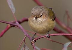 weebill (Smicrornis brevirostris)-2391 (rawshorty) Tags: birds australia canberra act mulligansflat rawshorty