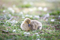A greylag goose chick is sleeping peacefully (Mii_Der) Tags: flowers sleeping cute bird grass animal tiere stuttgart outdoor branches natur wiese goose chick ste lay laying peacefull graugans greylag liegen badenwrttemberg gnse greylaggoose kken peacefully friedlich junges ss maxeythsee grauganskken
