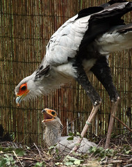 secretarisvogel Beekse Bergen JN6A6783 (j.a.kok) Tags: bergen secretarybird beekse secretarisvogel
