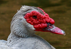 On the Pond (yve1964) Tags: bird canon geese swan babies beak feather chicks sygnet gooe