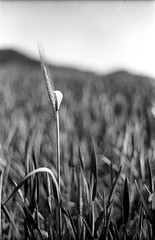 むぎ Cebada Barley (rodrigo.blackburn) Tags: blackandwhite film nature 50mm spring fuji bokeh cereal d76 across burgos 春 agricultura cebada fujiacross100 olympusom2n om2n nikoncoolscaniv camposdecastilla zuiko50mm18