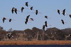 Black-winged Stilts (Curtis Hayne Photography) Tags: australia nsw newsouthwales australianbirds blackwingedstilt guyra littlellangothlinnaturereserve curtishayne