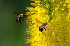 bees (Denis Kochnev) Tags: flower yellow bees honey