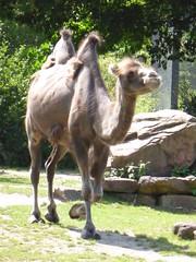 The noisy camel, Blijdorp (Alta alatis patent) Tags: zoo blijdorp camel kameel camelusbactrianus