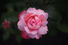 _DSC4670 (André Hulsbergen) Tags: rosarium rose roos flower flora nature natuur fantasticflower