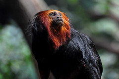 Golden headed Lion Tamarin (Leontopithecus Chrysomelas), (natureloving) Tags: nature animal leontopithecuschrysomelas goldenheadedliontamarin