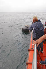 Whale Watching - Southern Right Whale (astroaxel) Tags: südafrika western cape westerncape whale watching südlicher glattwal southern right wal hermanus walker bay