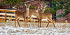 3 deer@northpark (david_sharo) Tags: nature wildlife moraine park weather snow