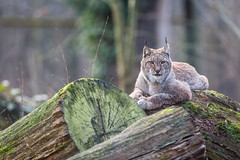 Wanna play? (The Wasp Factory) Tags: eurasianlynx lynx eurasischerluchs nordluchs luchs lynxlynx wisentgehegespringe wisentgehege springe tierpark wildpark wildlifepark lowersaxony