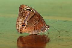 Jamaican Calisto - Calisto zangis (Roger Wasley) Tags: jamaican calisto zangis butterfly satyr endemic caribbean jamaica green castle estate rare butterflies