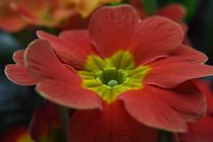 12-IMG_8534 (hemingwayfoto) Tags: blühen blüte blume flora frühblüher frühling frühlingsprimel garten gartenblume gewächs natur pflanze primel primulaveris
