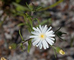 Asteridea  pulverulenta 1 (brundrett) Tags: everlasting daisy white spring annual