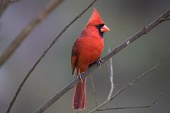 140A1164 (Ricky Floyd) Tags: cardinal bird canon5dmarkiv tamronsp150600mm