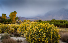 Owens Valley_DSC1632 (adventure_photography) Tags: outdoor owens valley landscape trees shrubs fall colors
