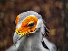 Secretary Bird 286 (saxonfenken) Tags: 6873birds 6873 friendlychallenges secretarybird bird orange largebird portrait tcf challengeyouwinner perpetual pregamewinner gameunam