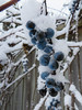 Ice Vine? - Vin glacé? (monteregina) Tags: winter blue branch grapes snow weather photo:id=nb201612057244 raisinssauvages wildgrapes neige hiver