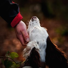 With tender hand ...... (Missy Jussy) Tags: rupert trevorkerr englishspringer springerspaniel spaniel dog dogwalk pets animal woodland canon canon5d canon70200mm newyearsday 2017