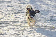 Snow Puppy (J.L. Ramsaur Photography) Tags: jlrphotography nikond7200 nikon d7200 photography photo cookevilletn middletennessee putnamcounty tennessee 2016 engineerswithcameras cumberlandplateau photographyforgod thesouth southernphotography screamofthephotographer ibeauty jlramsaurphotography photograph pic cookevegas cookeville tennesseephotographer cookevilletennessee snowpuppy hope peanut hopie beagle puppydog dog ears snow snowy cold closeupphotography closeup dof depthoffield bokeh nature outdoors god'sartwork nature'spaintbrush portrait portraiture familyportrait portraitphotography puppyportrait dogportrait beagleportrait