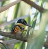 American Pygmy Kingfisher (Sandrine Biziaux-Scherson) Tags: american pygmy kingfisher bird biziaux birds nature mexico quintana roo sandrine scherson jungle