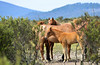 Brumbies at a trap site (iSPY Photography) Tags: brumbies wildhorses highcountry alpine australia slaughter in danger nationalpark nsw national parks environment