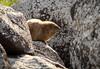 2017-01 Stephen Payne-512.jpg (Stephen_Payne) Tags: israel animals marmots overseas places