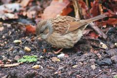 Dunnock bird (ekaterina alexander) Tags: dunnock bird brown grey small wild winter birds ekaterina england alexander sussex nature photography pictures