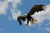 Weißkopfseeadler  ...im Anflug (Pittiplatsch der Große) Tags: weiskopfseeadler weisskopfseeadler adler kranichfeld thüringen baldeagle americaneagle vogel