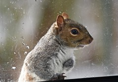 I want my Gingrebread house......! (ineedathis,The older I get the more fun I have....) Tags: squirrel easterngraysquirrel sciurus treesquirrel sciuruscarolinensis animal critter nature winter furry garden nikond750 graysquirrel window portrait posing profile outdoor whiskers glass