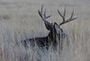 Mule Deer (Circled Thrice) Tags: deer muledeer buck grasses grass meadow field rockymountainarsenal nationalwildliferefuge refuge wild wildlife nature natural mammal aurora commercecity denver colorado co canon eos rebel sigma t5i