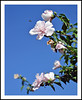 Rose of Sharon and a Bee Coming in For a Landing (sjb4photos) Tags: michigan ypsilanti roseofsharon bee flower