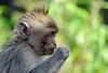 Balinese Macaque (DaveR1988) Tags: monkey animalplanet fujifilm xpro2 xf55200 velvia fuji x xmount bali indonesia mount batur volcano macaque eating calm friendly bokeh