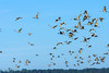 Paynes Prairie State Park La Chua Trail Sandhill Crane flocks 01-10-2016 (71 of 80) (Jerry's Wild Life) Tags: alachua alachuacounty crane craneflocks cranes florida gainesville paynesprairie paynesprairiestatepark sandhill sandhillcrane sandhillcraneflock sandhillcraneflocks sandhillcranes sandhills