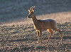 Roebuck (hbothmann) Tags: reh rehbock roebuck deer cretesenesi toskana tuscany toscana capriolo