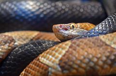 Snake Friends (MTSOfan) Tags: copperhead ratsnake reptiles snakes lvz rad