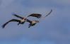 Paynes Prairie cranes in flight (Jitney58) Tags: wildhorses cranes birds sandhillcranes